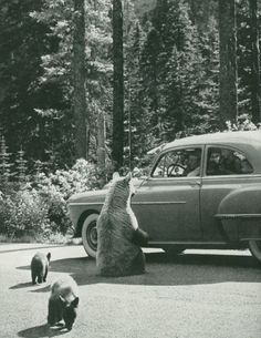 People used to feed bears from their cars like this at Yellowstone National Park. Crazy.