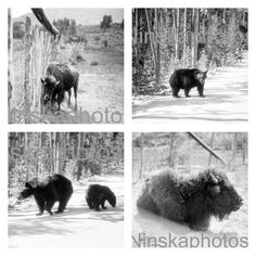 Wildlife in Yellowstone national park photos added today
