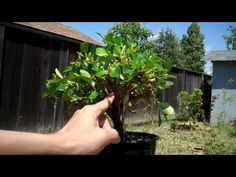 How to create bonsai from nursery plant:The Escallonia Bonsai Project Part II.mp4