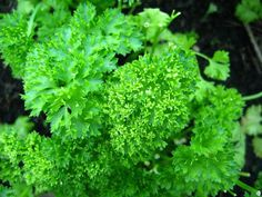 Parsely is a great anti-bacterial and anti-inflammatory herb. When my children were teens and suffering with acne I made a Parsley Facial Toner for them. It worked like magic. Here is my recipe.  Chop up 1/2 cup of fresh parsley. Put in a medium bowl. Pour 1 cup of boiling water over the parsley. Let set until cool. Strain and add 1/4 cup of Witch Hazel to the parsley water. Put in bottle and store in fridge. To use put on a cotton ball and dap on face 2 to 3 times a day