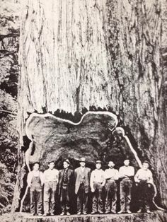 Justin Bevans‎ Old Logging Pictures There is some controversy whither it is Redwood or Cedar. any advice?