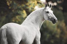 Beautiful white horse pictures #horses#horse#horselovers#horselove#lovinghorses#beautifulhorsepictures#horseriding#stunninghorses#beautifulhorses#loveforhorses#stallions#polopony#pony#whitehorses#equestrian#marwarihorse#marwari#thoroughbred#ponies#horsepictures#horsephotography#horsebackriding#LAPOLO Beautiful Horse Pictures, Beautiful Horses, Animals Beautiful, Pretty Horses, Horse Love, Play Horse, Animals And Pets, Cute Animals, Horse Portrait