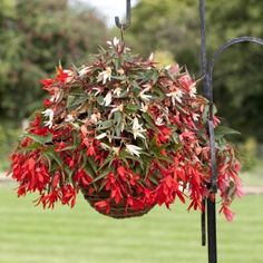 Begonia Plants - Bossa Nova Mix - Flowers for Hanging Baskets Flower Pots, Plants, Diy Planters, Planting Flowers, Sutton Seeds, Begonia, Flower Pot Design, Live Plants, Plants For Hanging Baskets