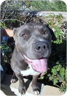 06/27/15-Bellflower, CA - American Staffordshire Terrier/American Pit Bull Terrier Mix. Meet Louie a Dog for Adoption.
