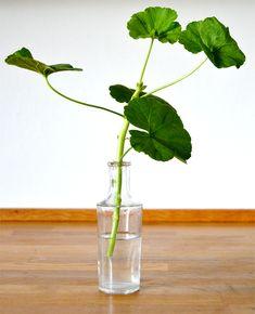 De overvintrede pelargonier skal beskæres midt i marts. Så de kan blive klar til en ny sommer i haven. Måske nyt jord også? My Secret Garden, Garden Inspiration, Garden Ideas, Indoor Garden, Gardening Tips, Glass Vase, Planters, Herbs, Flowers