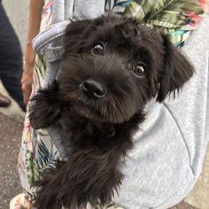 福岡の街を散策。 ちょいと不機嫌⁇ #たびマル日記 #schnauzer#maltese#dog#dogstagram#doglover#puppy#Miniatureschnauzer #schnauzerlove#smile#pet#love#cute#happy#insta_dog#inulog#schnauzersofinstagram#シュナウザー#マルチーズ#シュナマル#マルシュナ#ミックス犬 #女の子#愛犬 #マルチーズミックス #シュナウザー部#マルチーズ部#わんこ