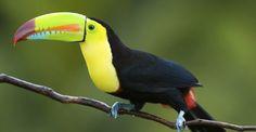 Keel-billed Toucan, Tortuguero National Park, Costa Rica