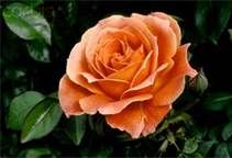 Coral Colored Roses - Bing Images