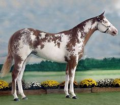 Chestnut overo APHA mare, Queen of Tradition.