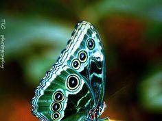 Happy Sunday to All ! Theme: The Beautiful Butterfly - Mariposa-Papillion-Farfalla-Schmeterling - Borboleta Papillon Butterfly, Butterfly Kisses, Butterfly Flowers, Green Butterfly, Butterfly Eyes, Peacock Butterfly, Morpho Butterfly, Blue Morpho, Beautiful Bugs