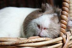 Guinea Pig Sleeping 3, via Flickr.