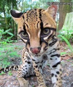 Want a Short Funny Keeper story about PurrFection Ocelot? It is on today's Big Cat Update Animals And Pets, Baby Animals, Cute Animals, Wild Animals, Ocelot, Tiger Pictures, Animal Pictures, Crazy Cat Lady, Crazy Cats