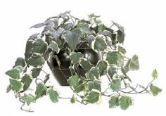 Algerian Ivy Variegated (Hedera Helix): Easily grown in average, medium moisture, well-drained soils in part shade to full shade. Will also grow in full sun. Tolerates a wide range of soils, but prefers rich loams. Tolerates some drought, but produces best foliage color in evenly moist soils. In the St. Louis area, plants will benefit from a placement that will provide some protection from winter wind and sun and from hot summer temperatures. Plants may be propagated vegetatively or by seed.