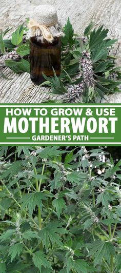 Motherwort is a hardy perennial herb known for reducing anxiety and supporting women's health. Read on to learn how to grow and use this powerful plant.
