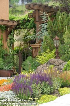 Xeric garden w/ Pineleaf Penstemon, 'May Night' Salvia', 'Seafoam' groundcover rose, Sedums, 'Tiger Eyes' Sumac, 'Glauca Fastigiata' Blue Atlas Cedar frames gate [Penstemon pinifolius; Salvia x sylvestris 'May Night'; Rosa 'Seafoam'; Sedum spp.; Pinus sp.; Rhus typhina 'Tiger Eyes'; Cedrus atlantica 'Glauca Fastigiata'].