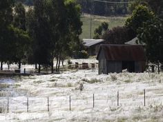 That's not snow, my friends, those are spider webs. In Australia, a flood forced a migration of wolf spiders. At least they ate the mosquitos!