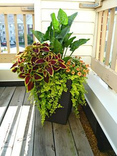 I wonder if the callas would survive on the porch this time.   Calla Lilly, creeping jenny, coleus, and super bells.