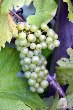 La vigne du Poirier du Loup! Oui, les raisins sont bien présents en Gaume!