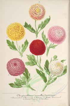 bouquets_flowers-00356 - chrysanthemum [3943x5995]