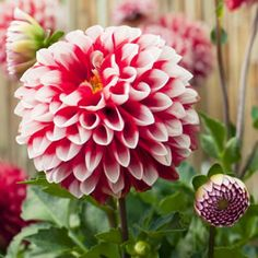 Dahlia hybird  A tight ball of red petals with white tips. Masses of colourful balls that open out are reminiscent of the old style Christmas decorations!   Ball dahlias are also known as pompom dahlias, their small and somewhat intricate sphere shape makes them ...
