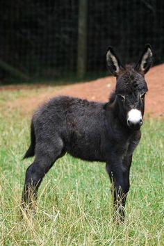 Panache a few days old. Courtesy: Clovercrest Miniature Donkey Stud, Pukekohe (New Zealand). Baby Donkey, Cute Donkey, Mini Donkey, Baby Cows, Baby Elephants, Cute Baby Animals, Farm Animals, Animals And Pets, Wild Animals