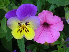 Viola and Petunia