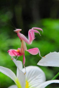 Pink Orchid Mantis.  [Talk about a paradox--I think of pink and flowers as romantic, but there's nothing romantic about a mantis.  Just the opposite, in fact.]