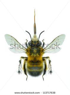 Apidae Fotos, imagens e fotografias Stock | Shutterstock