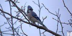Blue Jay. shot by Gavin Gillett