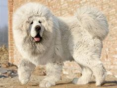 a Tibetan mastiff. daw mutation ka polar bear and tibetan mastiff. Giant Dog Breeds, Giant Dogs, Beautiful Dogs, Animals Beautiful, Cute Animals, Animals Dog, Amazing Dogs, Fluffy Animals, White Tibetan Mastiff