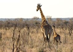 baby giraffes | did you know tha t a giraffe s legs alone are taller than many humans ...