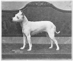 "Vintage Miniature Bull Terrier photo from the book ""Dogs Of All Nations"" 1915. The breed was then called Toy Bull Terrier."