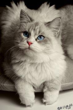 Grey siberian