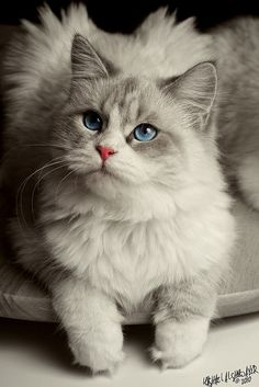 This Pin was discovered by Carrie Schudi. Discover (and save!) your own Pins on Pinterest. | See more about blue cats, blue eyes and cat eyes.