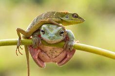 Freche Eidechse klettert über Frosch
