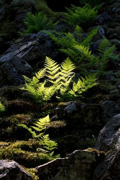En ormbunke blir fångad i det sista ljuset i Söderåsens nationalpark, Skåne. Beautiful World, Beautiful Places, Moss Garden, Woodland Garden, Forest Garden, Paludarium, Tree Forest, Forest Plants, Walk In The Woods