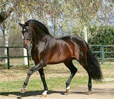 Most Beautiful Horses, Pretty Horses, Horse Love, Animals Beautiful, Andalusian Horse, Friesian Horse, Arabian Horses, Horse Photos, Horse Pictures