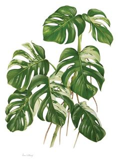 PLANTA TÓXICA Monstera deliciosa 'Variegata', costela-de-adão (Split-Leaf Philodendron, fruit salad plant, fruit salad tree TOXIC PLANT