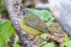 Is a boreal songbird's stunning over-ocean flight just the tip of the iceberg?