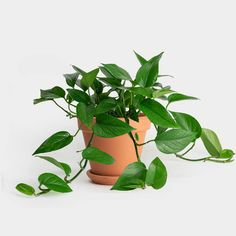 Purifying house plants can decrease the levels of plus harmful chemical compounds within the air by as much as These plants will even increase the humidity within the Houseplants Safe For Cats, Easy House Plants, Home Air Purifier, Pothos Plant, Low Light Plants, Best Indoor Plants, Spider Plants, Garden Shrubs, Potting Soil