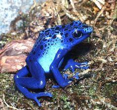 Blue Poison Arrow Frog (Dendrobates azureus) One of the largest poison arrow ...    frogstore.com