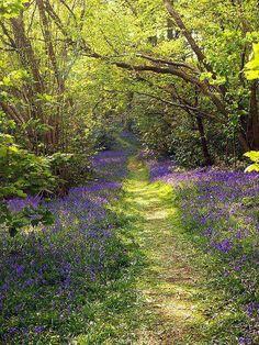 Grassy Path through a Bluebell Wood .....