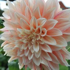 Dahlia 'Ice Cube' - 3 tubers - Rose Cottage Plants