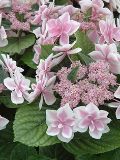Hydrangea macrophylla Star Gazer Big Leaf Hydrangea Height: Medium / Plant apart Bloom Time: Late Spring to Early Fall Sun-Shade: Mostly Sunny to Mostly Shady Zones: Soil Condition: Normal, Acidic Flower Color / Accent: Pink / Blue Hydrangea Macrophylla, Hortensia Hydrangea, Hydrangeas, Hydrangea Bloom, My Flower, Flower Power, Beautiful Flowers, Beautiful Gorgeous, Flower Beds