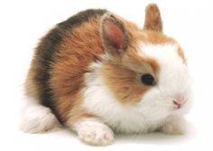 Conejo enano Toy. El conejo enano Toy, es la segunda raza más pequeña dentro de los conejos enanos. Su peso en edad adulta, puede variar entre los 1000 y los 1300 gr. y su esperanza de vida es de unos 8-10 años. Esta raza de conejo enano, se caracteriza por su nariz chata y oreja corta y redondeada. Su cuerpo, también es más compacto, lo que hace que se parezca a una bolita. Su carácter es algo más nervioso que el de un conejo enano de talla media.