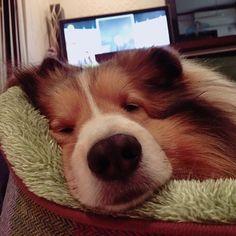 #シェットランドシープドッグ #シェルティ#ネンネ#ブサイク 寝顔がブサイクすぎる!!笑 おやすみっ!!
