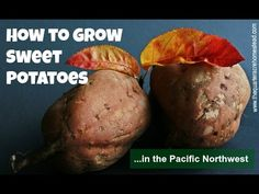 Growing Sweet Potatoes in the Pacific Northwest   The Quarter Acre Homestead