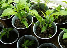 Papriky a rajčata za oknem Gardening Tips, Flora, Plants, Red Peppers, Lawn And Garden, Plant, Planting, Planets