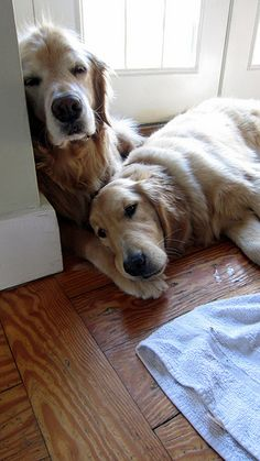 Golden Retrievers Love