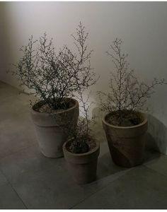 Corokia plants